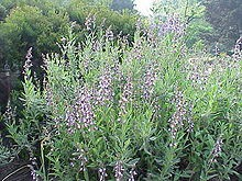 salvia_officinalis1.jpg